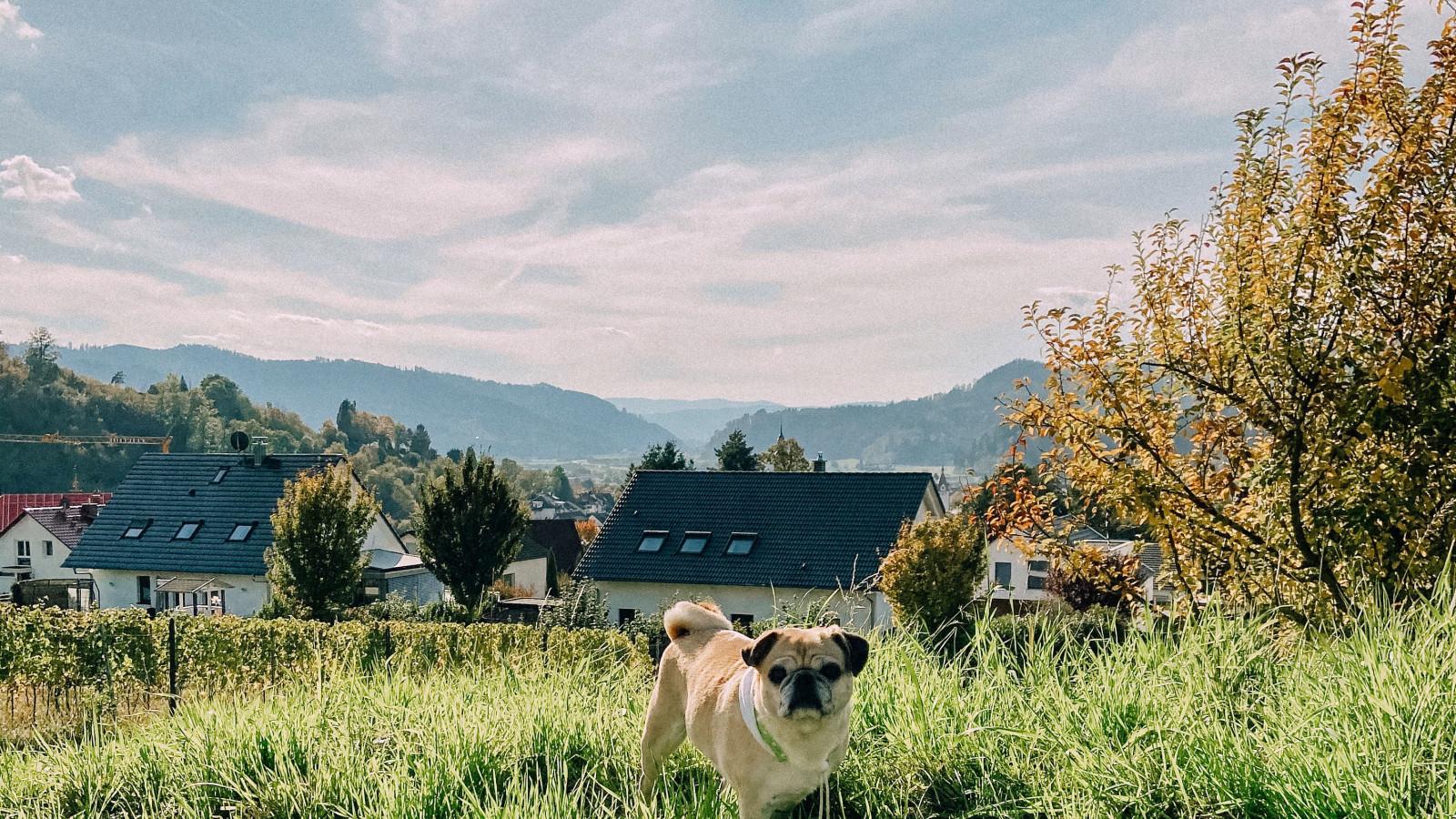 Emma über den Dächern von Gengenbach